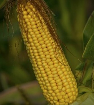 Насіння кукурудзи НС 2040