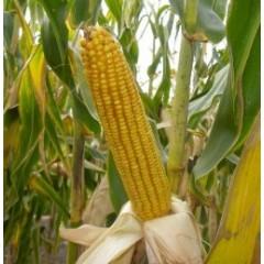 Насіння кукурудзи НС 2662