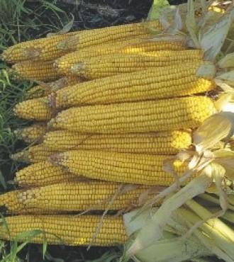 Насіння кукурудзи НС 4015