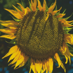 Насіння соняшнику ГРАНАДА