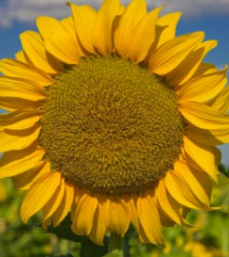 Насіння соняшнику АНАСТАСІЯ