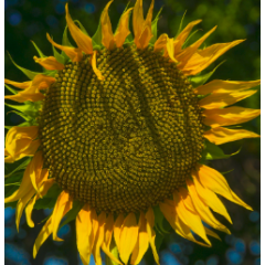Насіння соняшнику НС Х 26749 (Латітуда)
