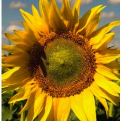 Насіння соняшнику НС Х 6593