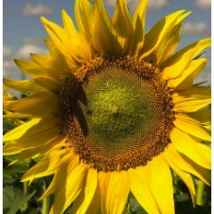 Насіння соняшнику НС Х 7256 (П'ятий елемент)