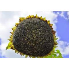Насіння соняшнику Тео