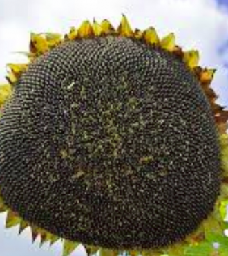 Насіння соняшнику Мішель