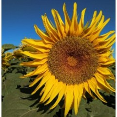 Насіння соняшнику НС Х 6962