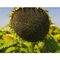 Семена подсолнечника П64ЛЦ108 (P64LC108)
