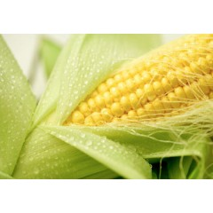 Насіння кукурудзи Данііл