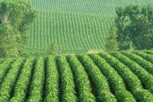 Гербіцид Базагран - надійний засіб в боротьбі бур'янами при вирощуванні сої