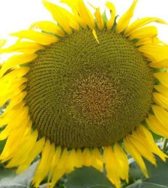 Насіння соняшнику Монарх