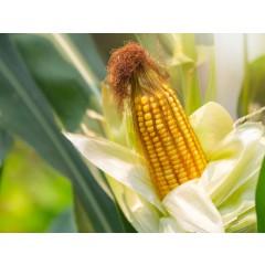 Семена кукурузы НЕРТУС-271 МВ