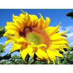 Насіння соняшнику НК Ферті