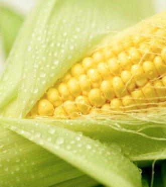 Насіння кукурудзи РАМ 3153