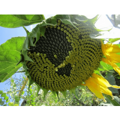 Семена подсолнечника П64ЛЕ121 (P64LE121)