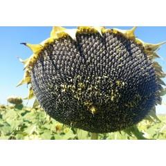 Семена подсолнечника СИ Арко (SY ARKO)