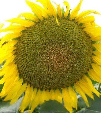 Насіння соняшнику НС Круна