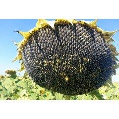 Семена подсолнечника Сузука HTS (SUZUKA HTS)