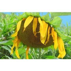 Семена подсолнечника Субаро