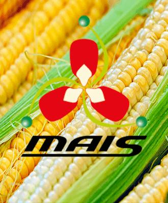МАЇС насіння Кукурудзи