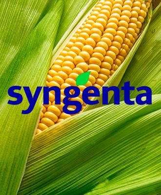 Насіння кукурудзи Сингента