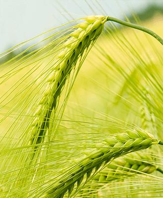 Семена Озимого ячменя
