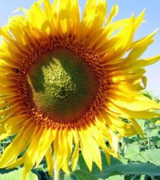 Насіння соняшнику МЕРКУРІЙ ІМІ