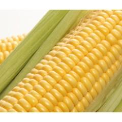 Криничанський 257 СВ — насіння кукурудзи