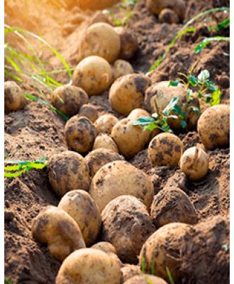 Гербіциди для Картоплі