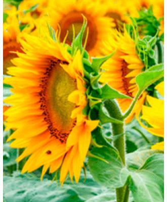 Гербіциди для Соняшнику