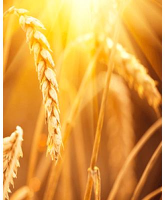 Гербициды для Пшеницы