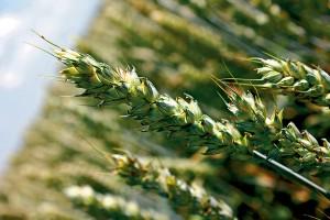 Рекомендации по применению гербицида Прима
