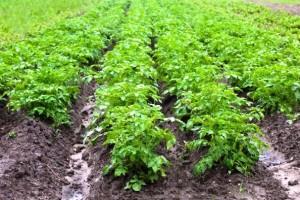 Применение гербицидов на картофеле