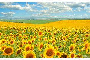 Подсолнечник для рационального земледелия в Украине
