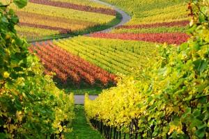 Фунгицид «Акробат» и современные технологии выращивания винограда