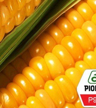 Семена кукурузы Pioneer Р9400