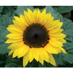 Семена подсолнечника - Rimi