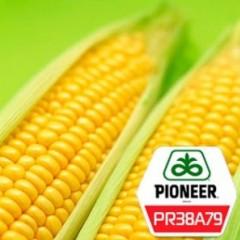 Насіння кукурудзи Піонер PR38A79