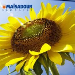 Семена подсолнечника Мас 80 ИР