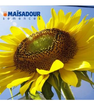Семена подсолнечника Мас 97 А