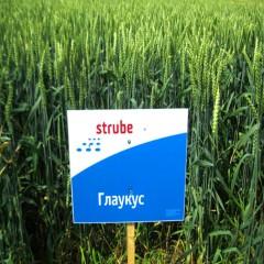 Озима пшениця ГЛАУКУС 1 репродукція