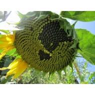 Семена подсолнечника Конфета