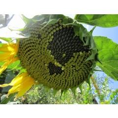 Семена подсолнечника ФОРТИМИ