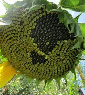 Семена подсолнечника Терра