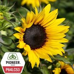 Соняшник Піонер P64LC53