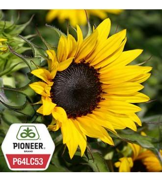 Семена подсолнечника P64LC53