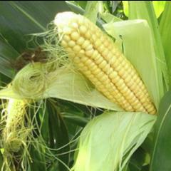 Семена кукурузы KBC 2323