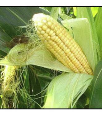Семена кукурузы КАНЬЙОНС