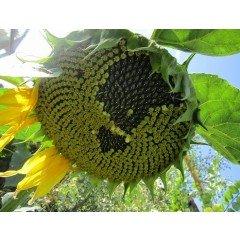 Насіння соняшнику Альзан