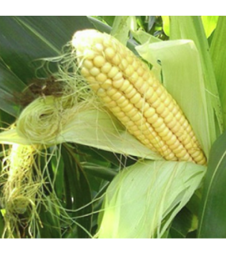 Насіння кукурудзи KBC 2370